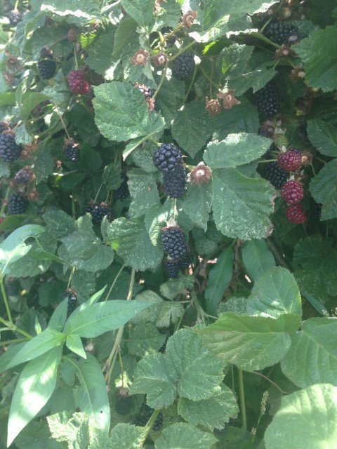 Do One Green Thing: blackberries at a local u-pick farm