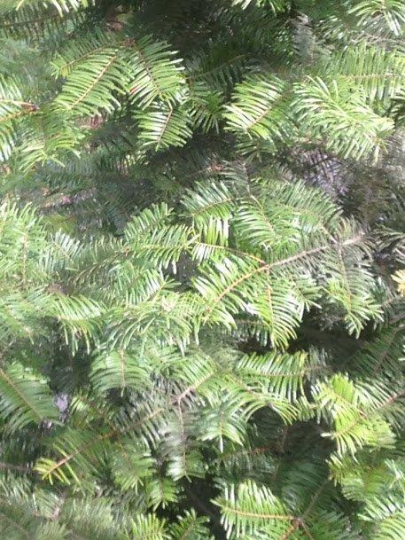 "Douglas fir with ""bottlebrush"" needles"