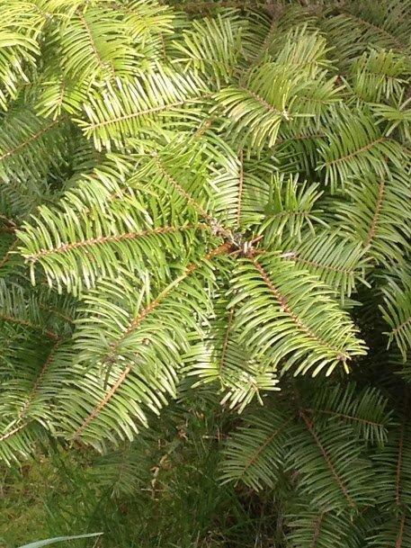 Grand fir with flat needles